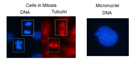 Mitosis and Micronuclei
